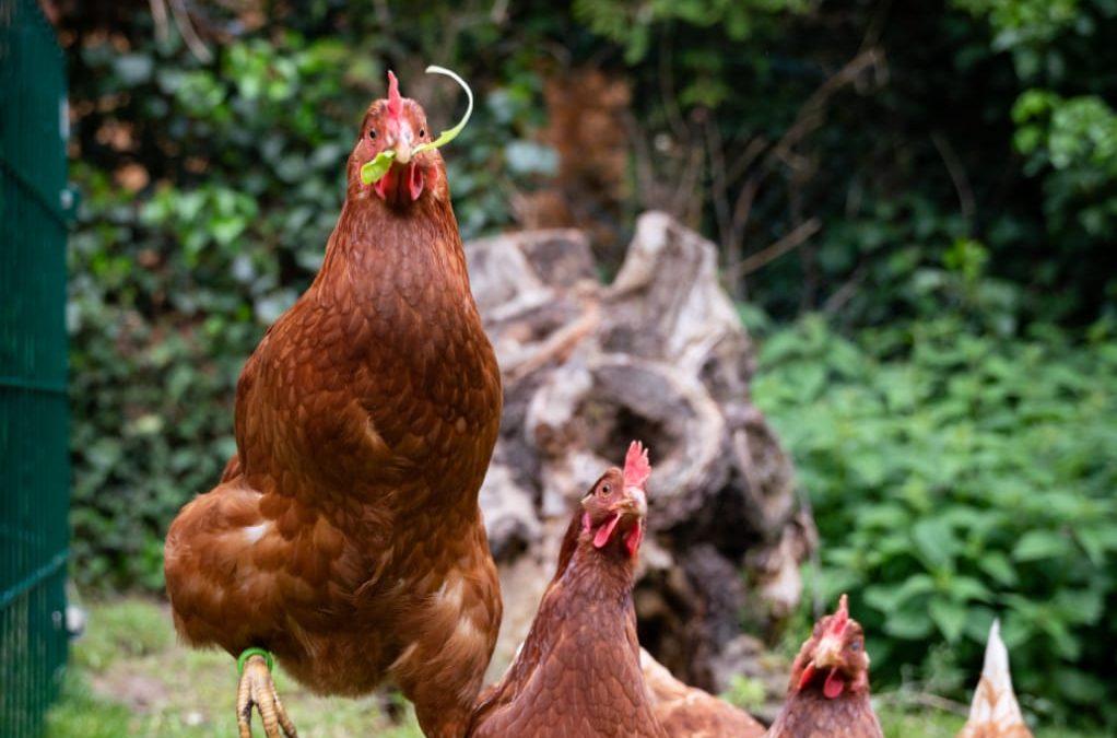 Hühnerbesuch im Schulgarten